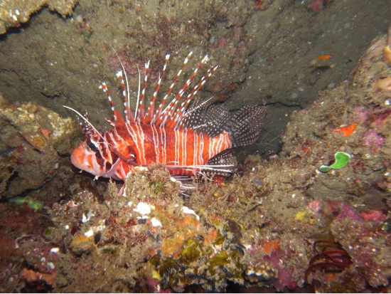 Tropical species such as this lionfish provide excellent SCUBA diving in the north of KZN, where our marine diversity is at its most spectacular.