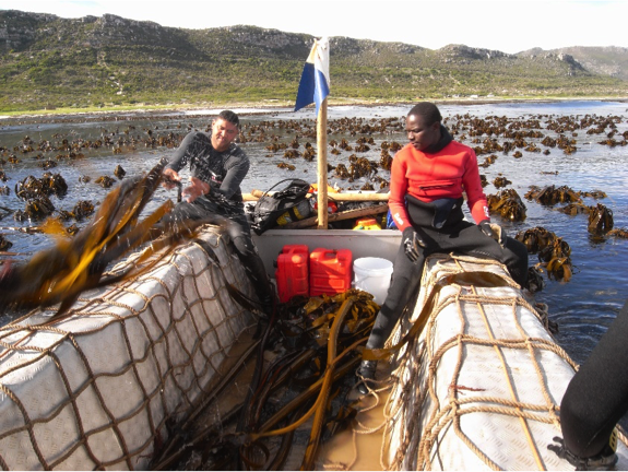 Nutrient -rich west coast waters support the extensive kelp beds. Here kelp is being harvested to produce a growth-stimulant for agriculture. It is also harvested as feed for farmed abalone.
